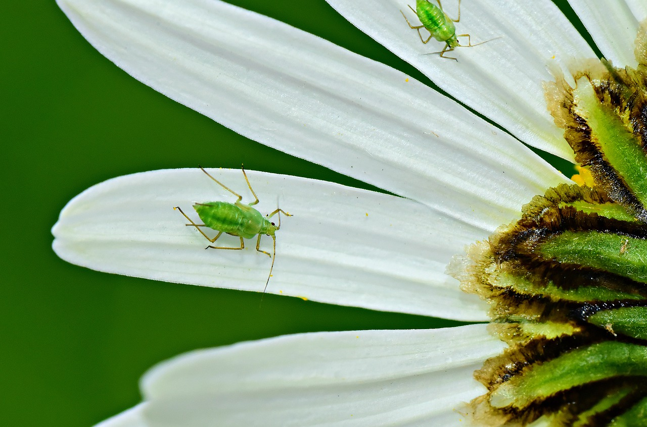 aphids and flower