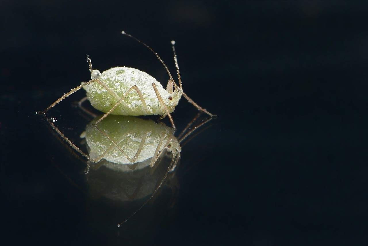 aphids on water