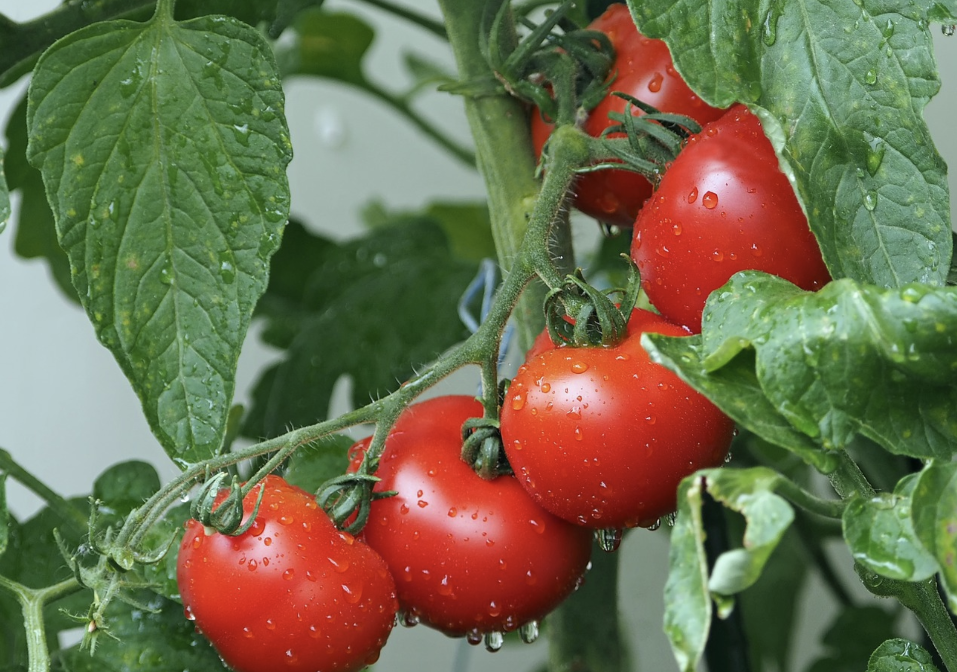 tomato fruits and Leaves