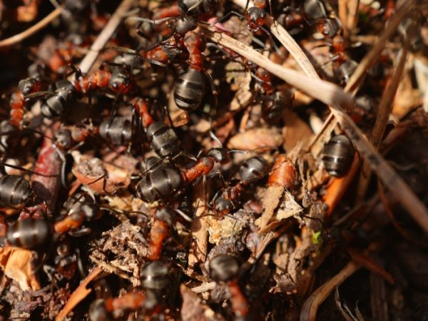 black and red ants