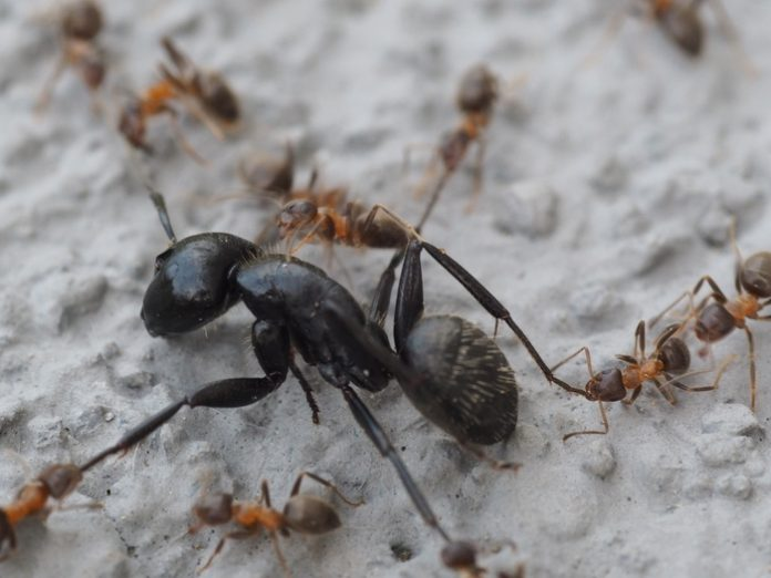big black ant and red small ants